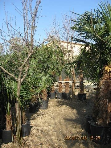 palme da giardino prezzi palme da giardino