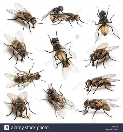 Doraemon Fly Set 2in 1 White set of 11 house flies in front of white background stock photo royalty free image 68118430 alamy