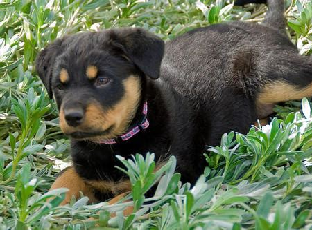lab chow rottweiler mix black chow rottweiler mix breeds picture
