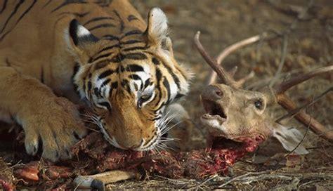 cadenas alimenticias carnivoros rota la cadena alimenticia de los carn 237 voros del reino