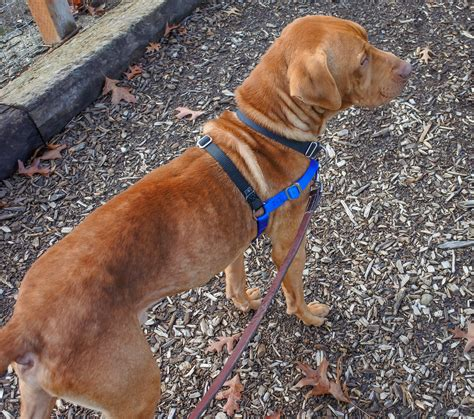 oregon humane society dogs this week s featured adoptable dogs willamette humane society by martha