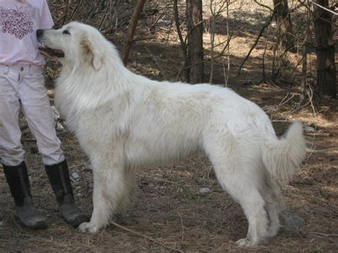 maremma puppy windance farm maremma sheepdog
