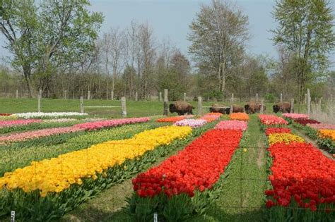 Veldheer Tulip Gardens by Ha Ha The Bison Came Closer For Their Environmental