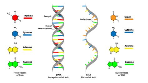 Dna And Rna Comparison Worksheet Answers