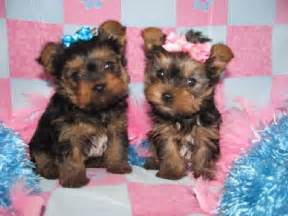 Yorkie Information Kids Image Search Results Dog Breeds Picture » Home Design 2017