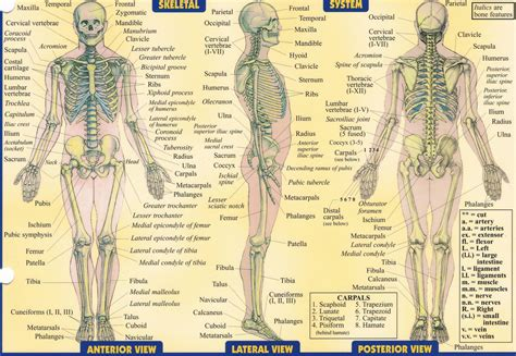 detailed skeletal system diagram detailed skeleton diagram anatomy organ