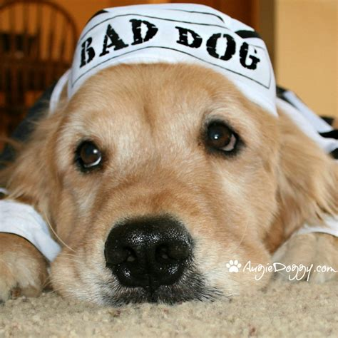 golden retriever and bad 10 best images about golden retrievers in costume on apps and hippies
