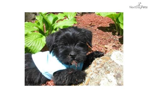 shih tzu havanese puppies havanese and shih tzu mix puppies www imgkid the image kid has it