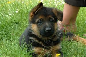 Dogs For Sale In German Shepherd Puppies For Sale Bazar