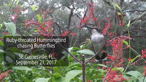 ruby throated hummingbird chasing butterflies and emptying
