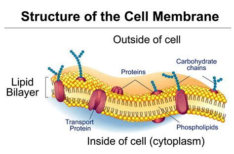 cell membrane lets       cell
