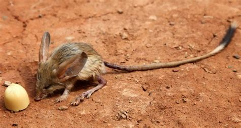 Eared Jerboa Endangered by 12 Animals With Strange Facts That You Don T