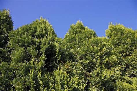 best 20 emerald green arborvitae ideas on