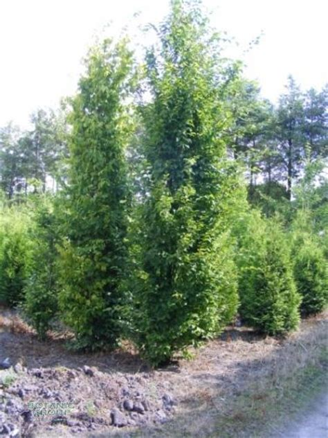 bambus im garten 2381 carpinus betulus frans fontaine s 228 ulen hainbuche