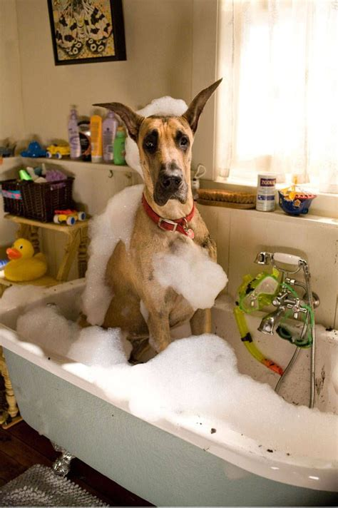 dogs and bathtubs bath time for marmaduke dogs pinterest