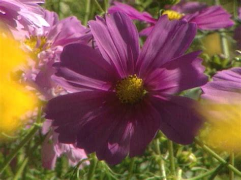 growing cosmos  seed hgtv