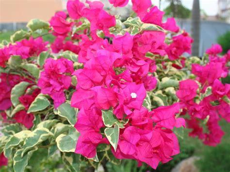 dekorasi rumah  taman  bunga kertas bugenvil