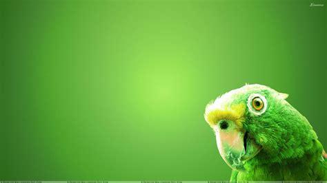 wallpaper of green parrot green parrot on green background wallpaper