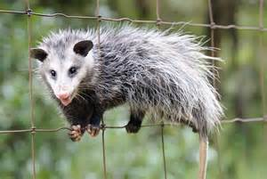 Small Backyard Projects What Do I Need To Know About Opossums If I Keep Chickens