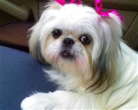 1000 images about barkley shih tzu hair cuts on pinterest 1000 images about shih tzu hair cuts on pinterest shih
