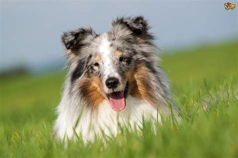 blue merle the blue merle shetland sheepdog gene and what it means for dogs pets4homes