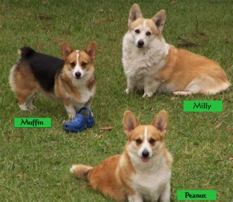 corgis queen elizabeth queen elizabeth corgis our 3 generations of corgi s grandma dorgi star performer milly