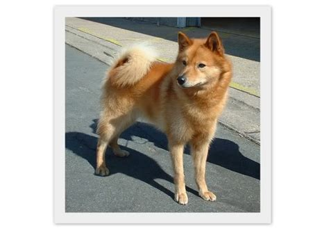 dog houses for sale in india indian spitz dog breed information pets world