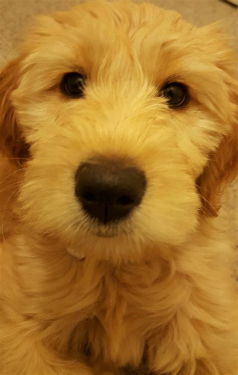 goldendoodle puppy colors goldendoodle puppies for salegoldendoodle puppies for sale