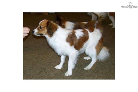 papillon puppy price papillon for sale for 300 near hattiesburg mississippi 5d23cae9 5c11