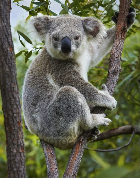 Koala Pictures 40 amazing koala pictures from the awww world