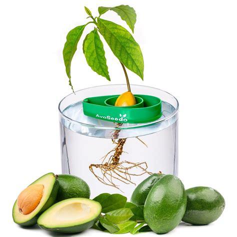 avoseedo grow your own avocado tree the green head - Avocado Seed Boat