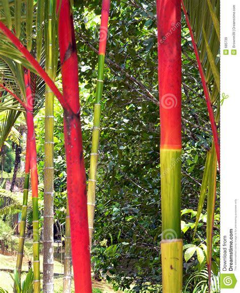 Lukisan Kaligrafi Bambu Yellow Green Bamboo Borneo Royalty Free Stock Images