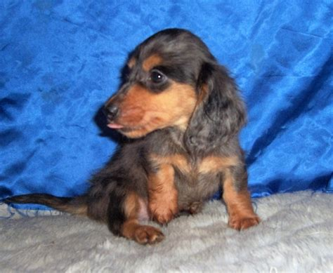 dachshund puppies kansas breeder small akc puppies for sale in kansas s precious puppies