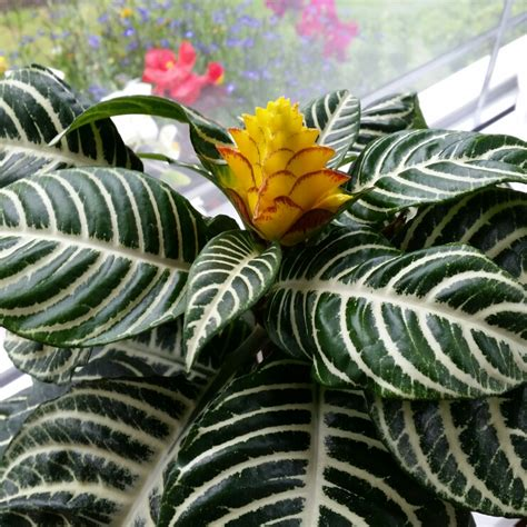 Calathea Zebra Zebrina calathea zebrina zebra plant uploaded by brightcolours