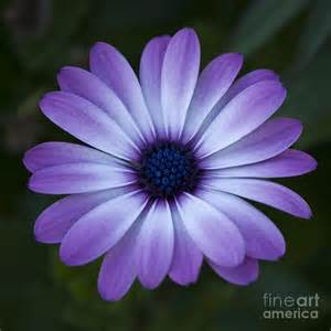 what color are daisies tat idea like the color gerbera drawing gerbera