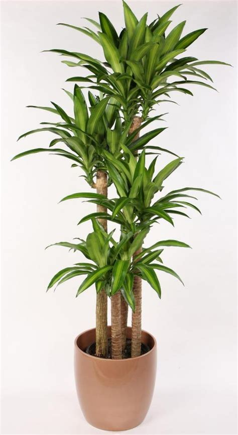dracaena fragrans interior id plants plant science 0001 with englander at