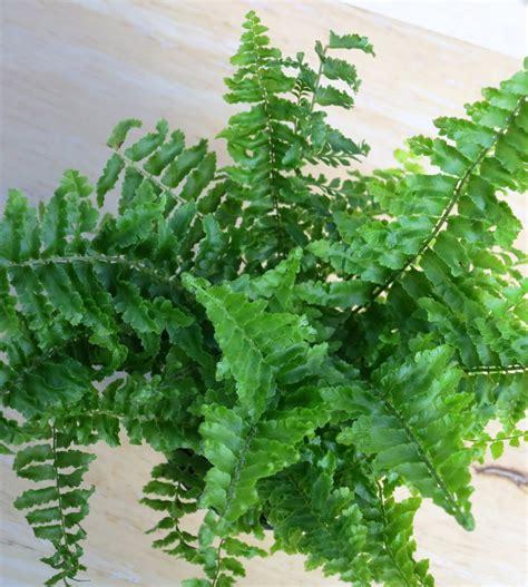 gary s specialty plants fluffy ruffle fern mini