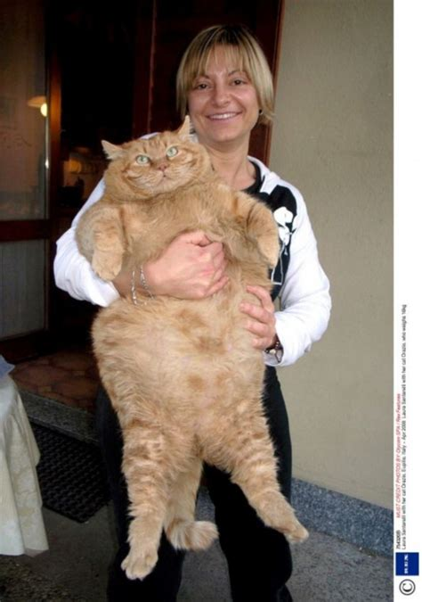 Meet the HUGE two stone cat who's the spitting image of
