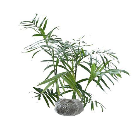 jual tanaman palem komodoria bibitbunga
