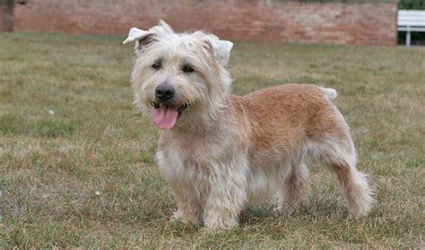 glen of imaal terrier puppies glen of imaal terrier breed information