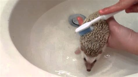 hedgehog bathtub baby hedgehog bath www pixshark com images galleries