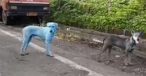 blue dogs india incredibly polluted river in india is turning stray dogs blue