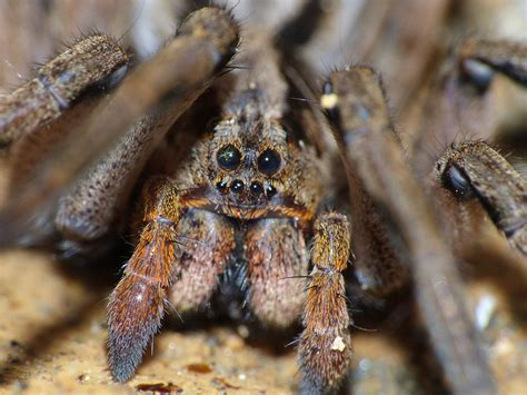 Why Do Tarantulas Shed Their Skin by What S The Difference Between A Tarantula And A Spider