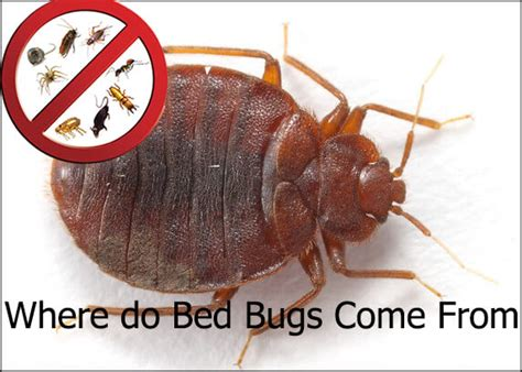 what do bed bugs come from where do bed bugs come from forgetpests