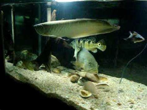 Lu Aquarium Arwana aruan 227 tucunar 233 arowana peacock bass fish tank