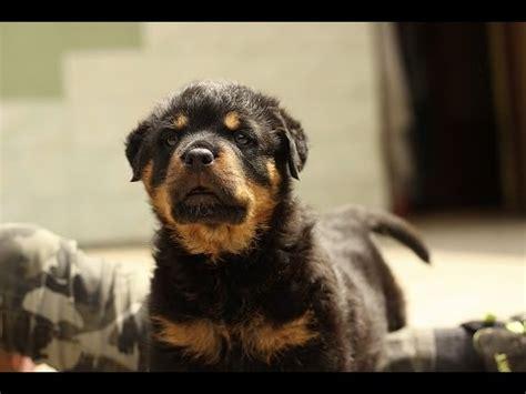 rottweiler lifespan rottweiler characteristics and facts rottweiler