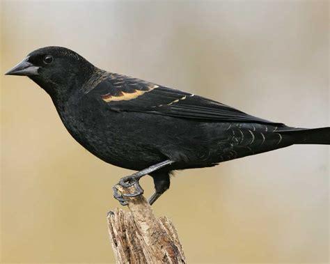 Red Winged Blackbird Audubon Field Guide Black Bird