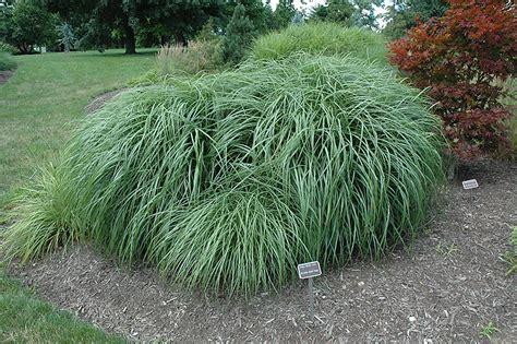 adagio maiden grass miscanthus sinensis adagio in