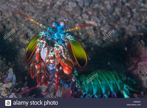 mantis shrimp colors mantis shrimp stock photos mantis shrimp stock images