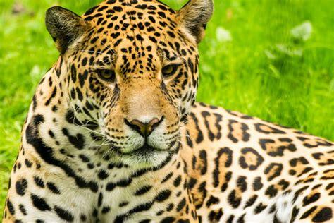 imagenes de la jaguar conservaci 243 n del jaguar mexicano